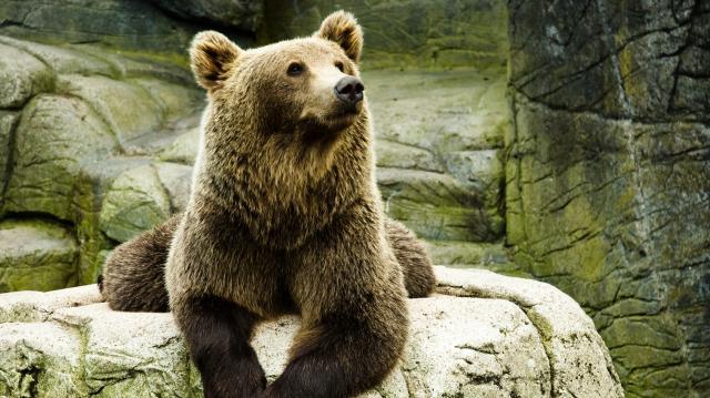 bear-mini