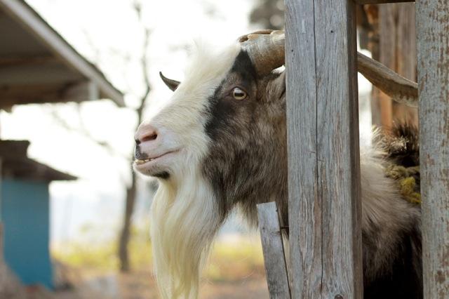 goat-2_mini