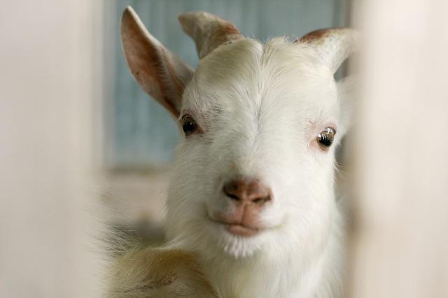 goat-4_mini