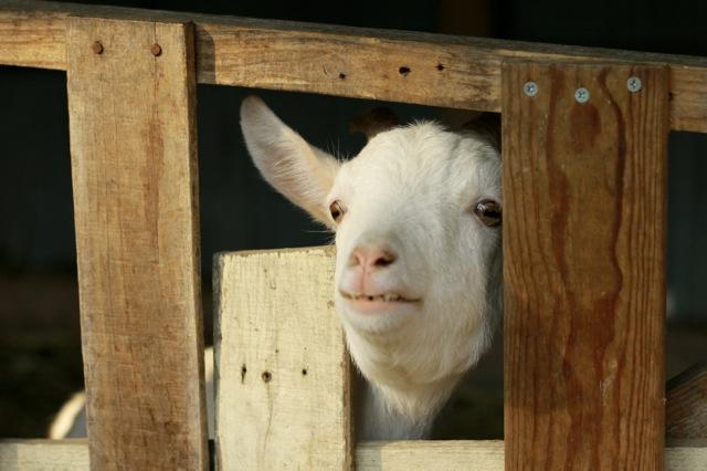 goat-7_mini
