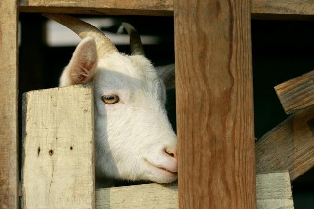 goat-8_mini