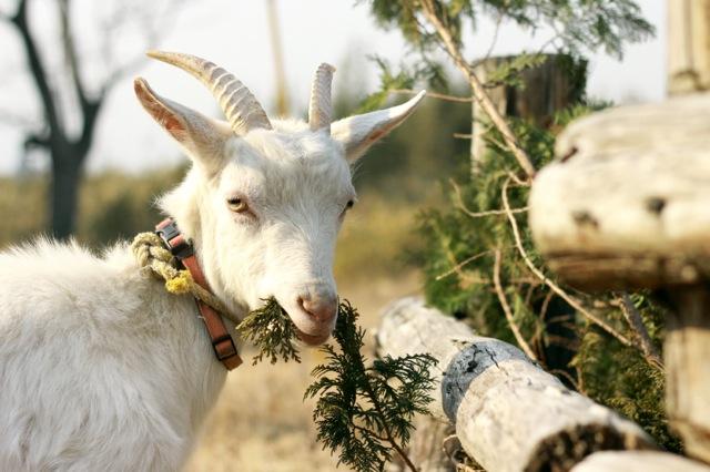goat-11_mini