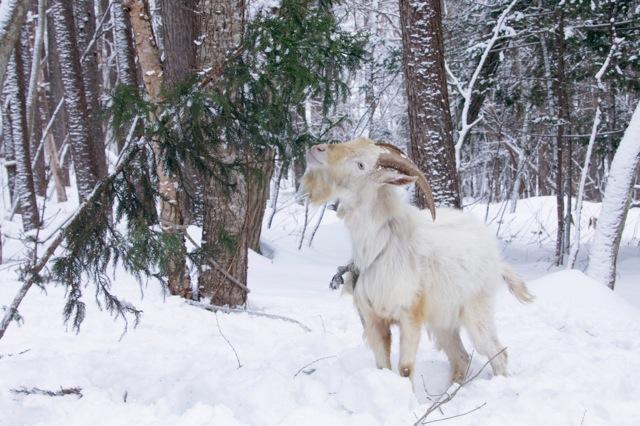 goat-12_mini