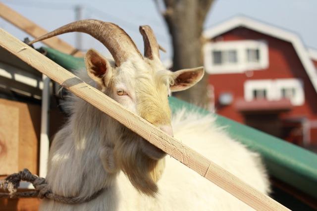 goat-1_mini