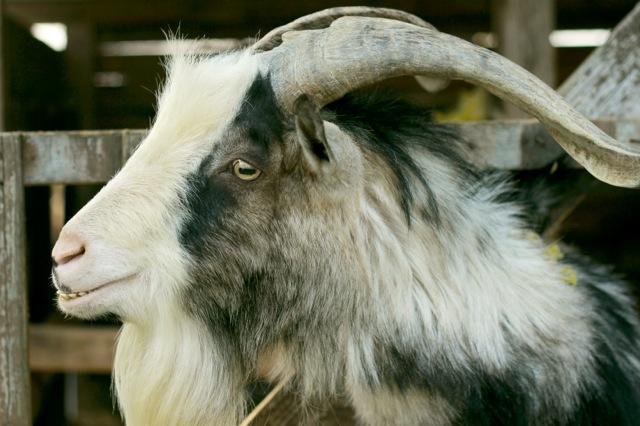 goat-3_mini