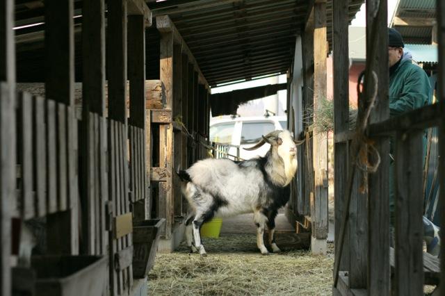 goat-5_mini