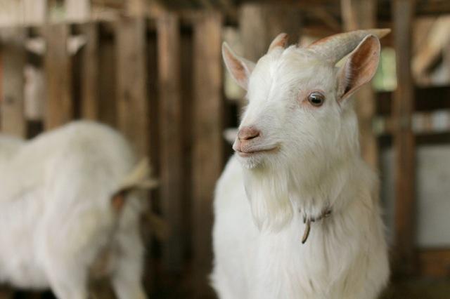 goat-6_mini