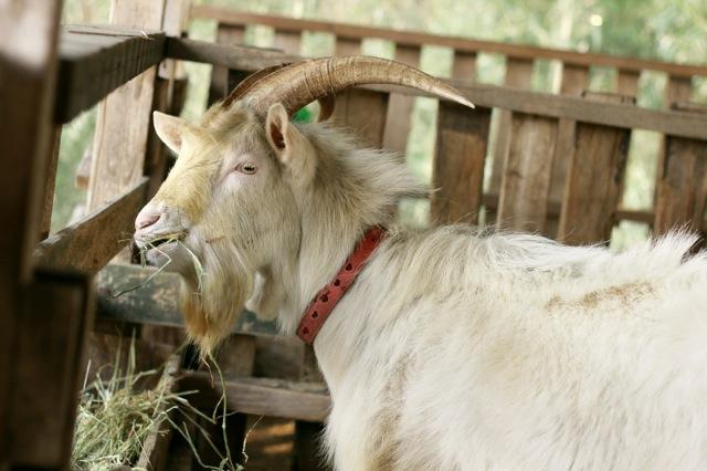 goat-9_mini