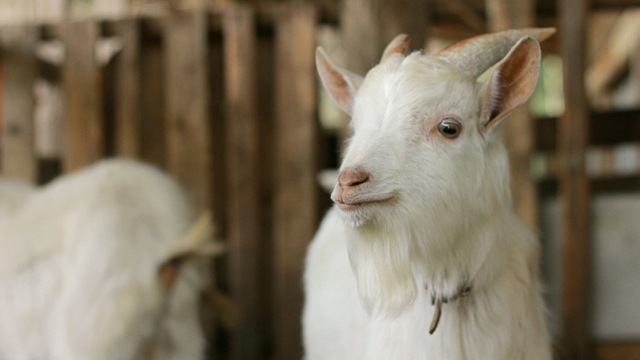 goat-icatchi_mini