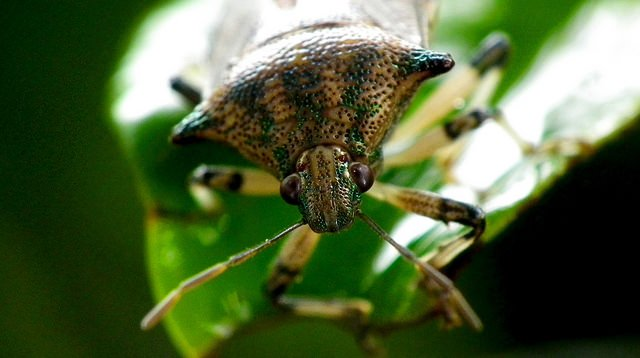 shield bug_mini