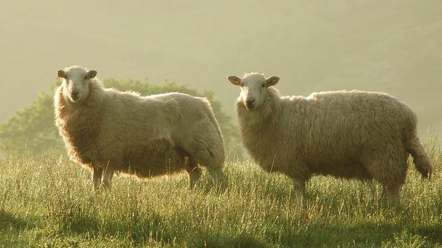 Sheep_mini